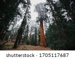 Foggy Giant Forest In Sequoia...