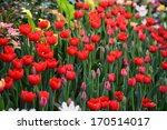 beautiful tulip flowers in the... | Shutterstock . vector #170514017