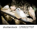 Beautiful White Dove Is Like...