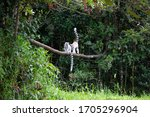 The Ring Tailed Lemur In The...