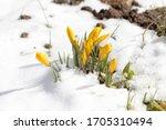 crocuses yellow blossom on a... | Shutterstock . vector #1705310494