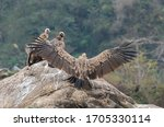 Back View Of Himalayan Griffon...