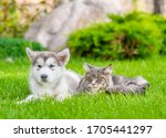 Adult Maine Coone Cat And...