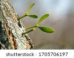 Mistletoe  Viscum Album ...