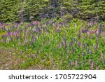 Lupines along Transcanda Highway 17 between Thunder Bay and Nipigon, Ontario