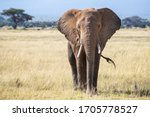 Bull Elephant  Loxodonta...