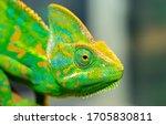 Chameleon Close Up. Multicolor...