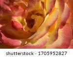 Floribunda  Rose  Noble Rose....