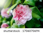 Small photo of Beautiful pink and white camella flower blooms in the early spring; La Peppermint camellia blossom on a green leafy bush