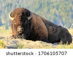 Male Bison Lying In Dust ...