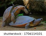 A Pair Of Turtles Are Mating...