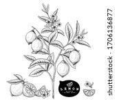 vector sketch citrus fruit... | Shutterstock .eps vector #1706136877