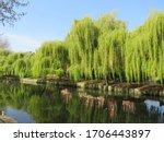 Riverside Weeping Willows Along ...