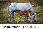 Mare Breastfeeding Young Foal ...
