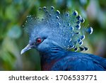 Victoria Crowned Pigeon Head...