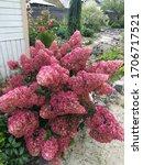 Huge Wine Hydrangea Paniculata...