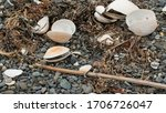 Bleached Clam Shells On Pebble...