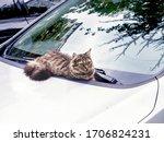 Grey Street Cat Lies On The...