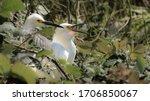Snowy Egrets Nesting In Green...
