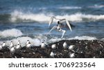 Small photo of The aerial display and territorial scuffle of swift terns while attempting to attract a mate