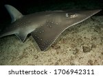 A rare and unusual image of the secretive Shovel Nose Ray. Also known as the Guitar Shark they are deeper reef dwellers and prey off the sandy bottoms. Beautifully patterned and very impressive.