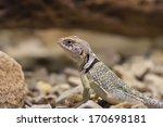 Collared Lizard  Arizona