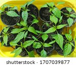 Growing Young Plants Of...