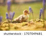 Little Duckling Walks Among...