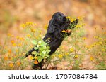 A Black English Cocker Spaniel...