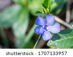 Isolated Blue Flower Of Small...