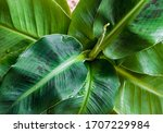 Small photo of Close-up on blotchy leaves of a Dwarf Cavendish banana plant (musa dwarf) forming attractive rosette. Beautiful exotic houseplant foliage detail.