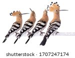 Family of hoopoe sits on a...