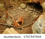 A Cuban Land Crab With Red...