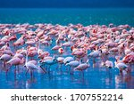 African Flamingos. Group Of...