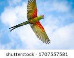 Red Green Ara Parrot  Flying...