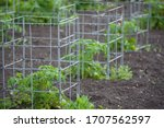 Small Tomato Plants Caged For...