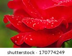 red beautiful  rose growing in... | Shutterstock . vector #170774249