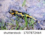 Fire Spotted Salamander In The...