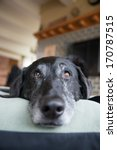Closeup Of Old Black Dog With...