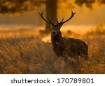 red deer at dawn. | Shutterstock . vector #170789801