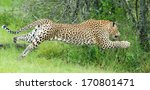 Stock photo leopard leaping 170801471