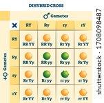 dihybrid cross vector... | Shutterstock .eps vector #1708098487