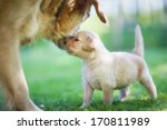 Stock photo a close up of a golden retriever mother and her cute puppy 170811989