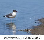 A Laughing Gull Along The...