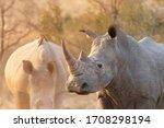 Wild African White Rhino Close...