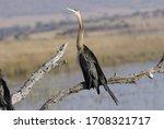 African Darter Bird Slangvoel...