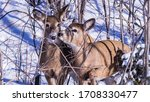 Two Deers In The Foods In The...