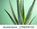 Aloe Vera Closeup. Aloevera...