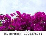 A Bougainvillea Plant In Front...