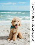 Goldendoodle At The Beach In...